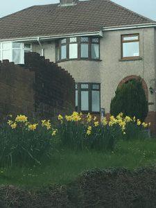Daffodils Litchard