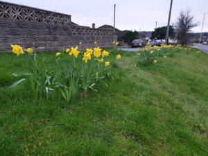 Daffodils Litchard 2019